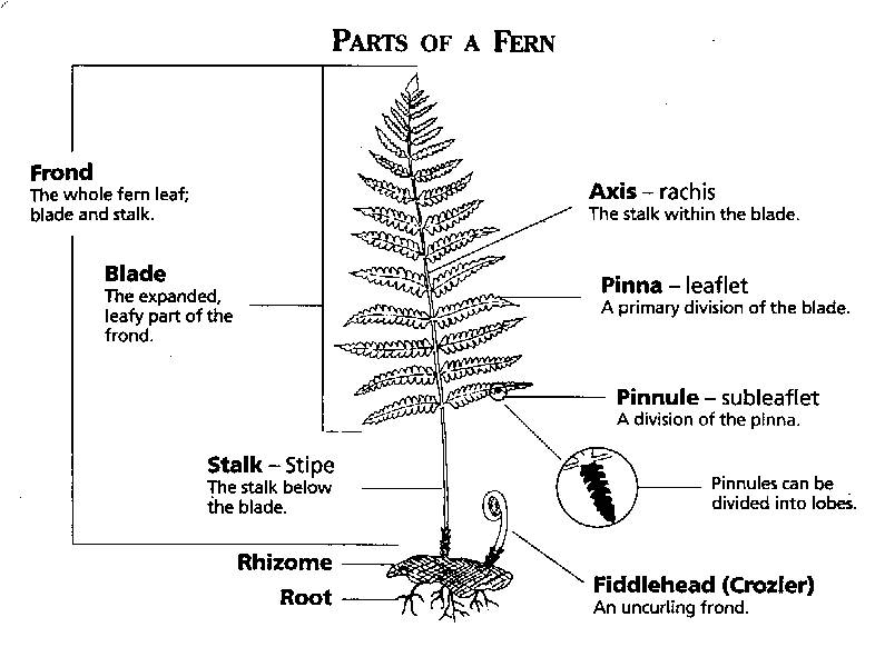 Pteridophyta biology4isc picture ccuart Image collections