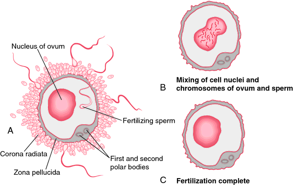 Sexual reproduction in humans in hindi