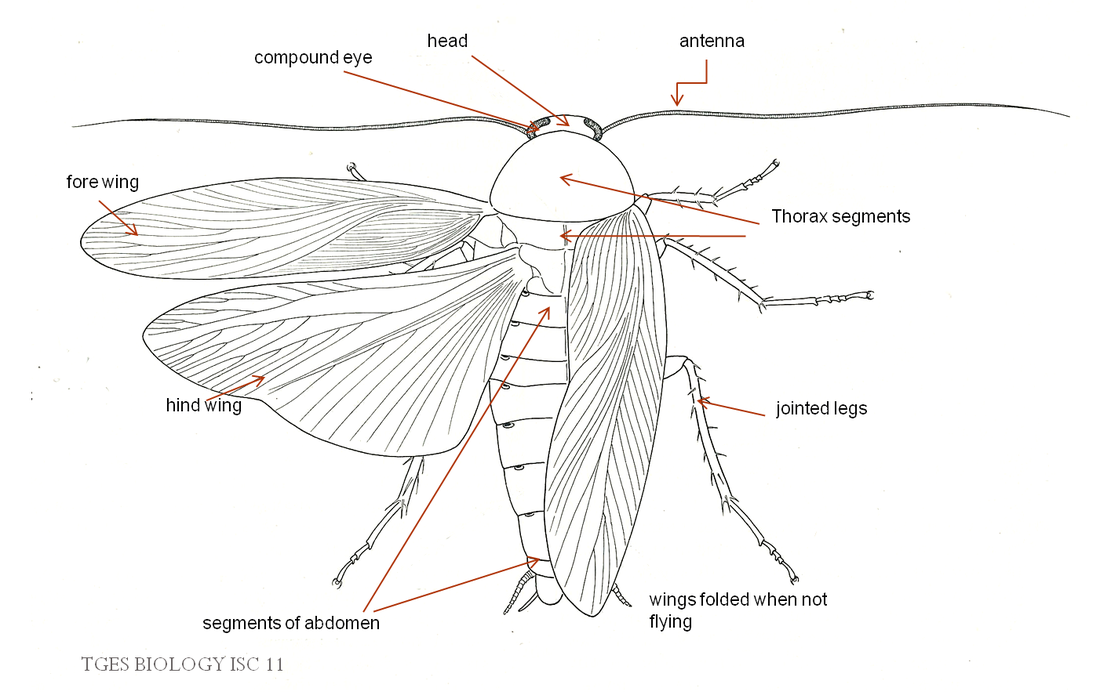 Morphology and anatomy of cockroach - BIOLOGY4ISC