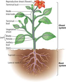 label simple plant anatomy - Hoss.roshana.co
