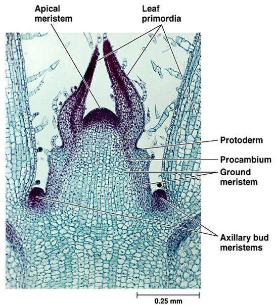 Plant tissues - BIOLOGY4ISC