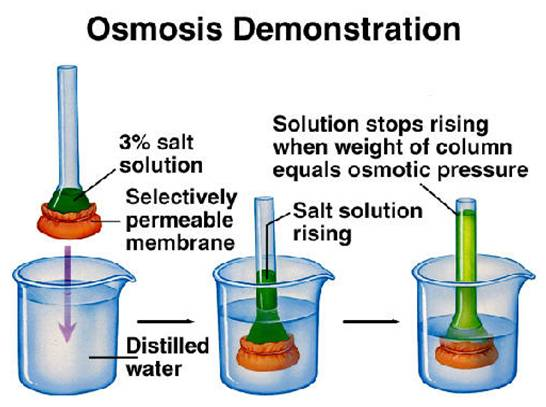 biology coursework osmosis safety Biology coursework: osmosis in potato cells introduction we are going to  investigate the process of osmosis in potato cells osmosis is the diffusion of  water.