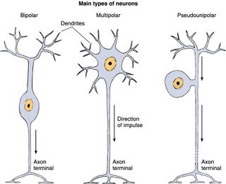 Nervous system biology4isc unipolar neurons are found as most of the bodys sensory neurons their dendrites are the exposed branches connected to receptors the axon carries the ccuart Choice Image