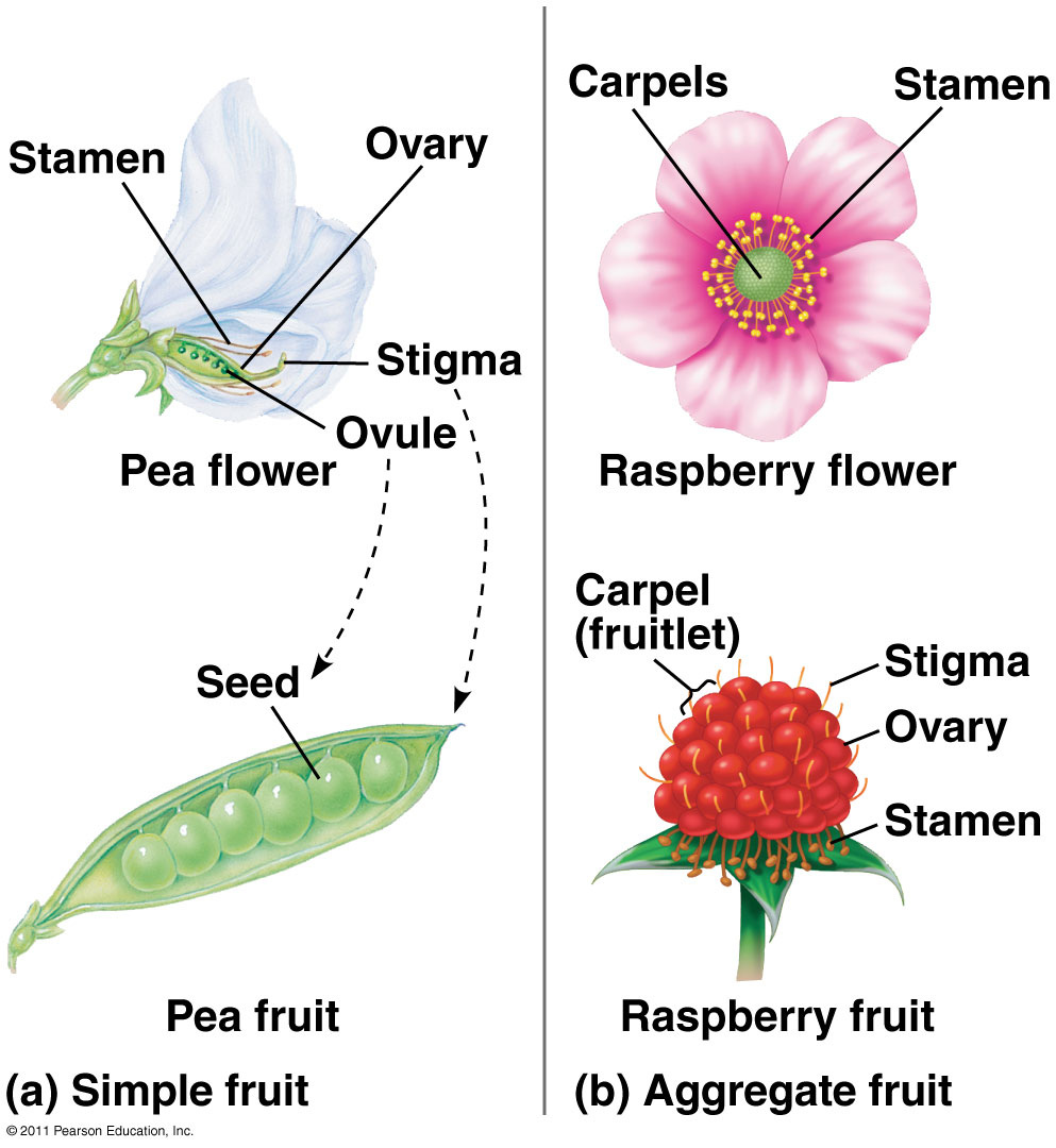 Seeds and fruits biology4isc picture izmirmasajfo