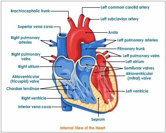 c. circulatory system - biology4isc, Muscles