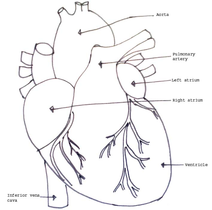 Human organ models biology4isc model showing the external structure of human heart ccuart Images