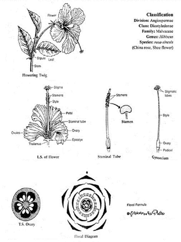 Diagram Of Shoe Flower Wiring Diagram Yer