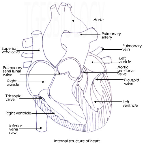 heart diagram pdf