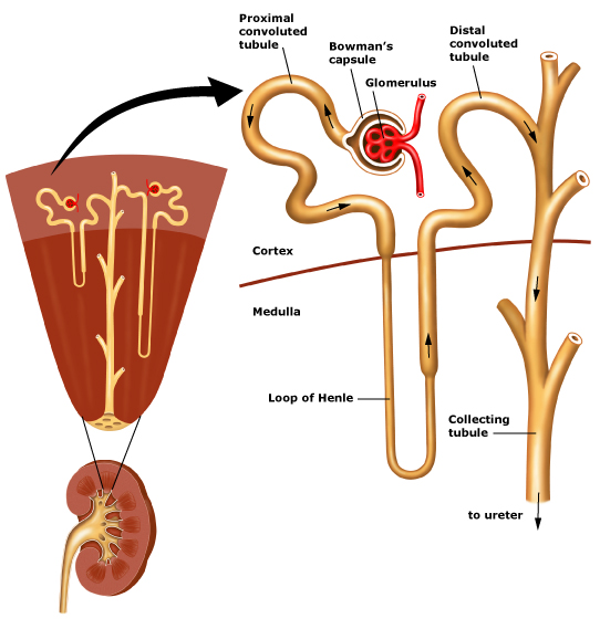 how to draw a nephron